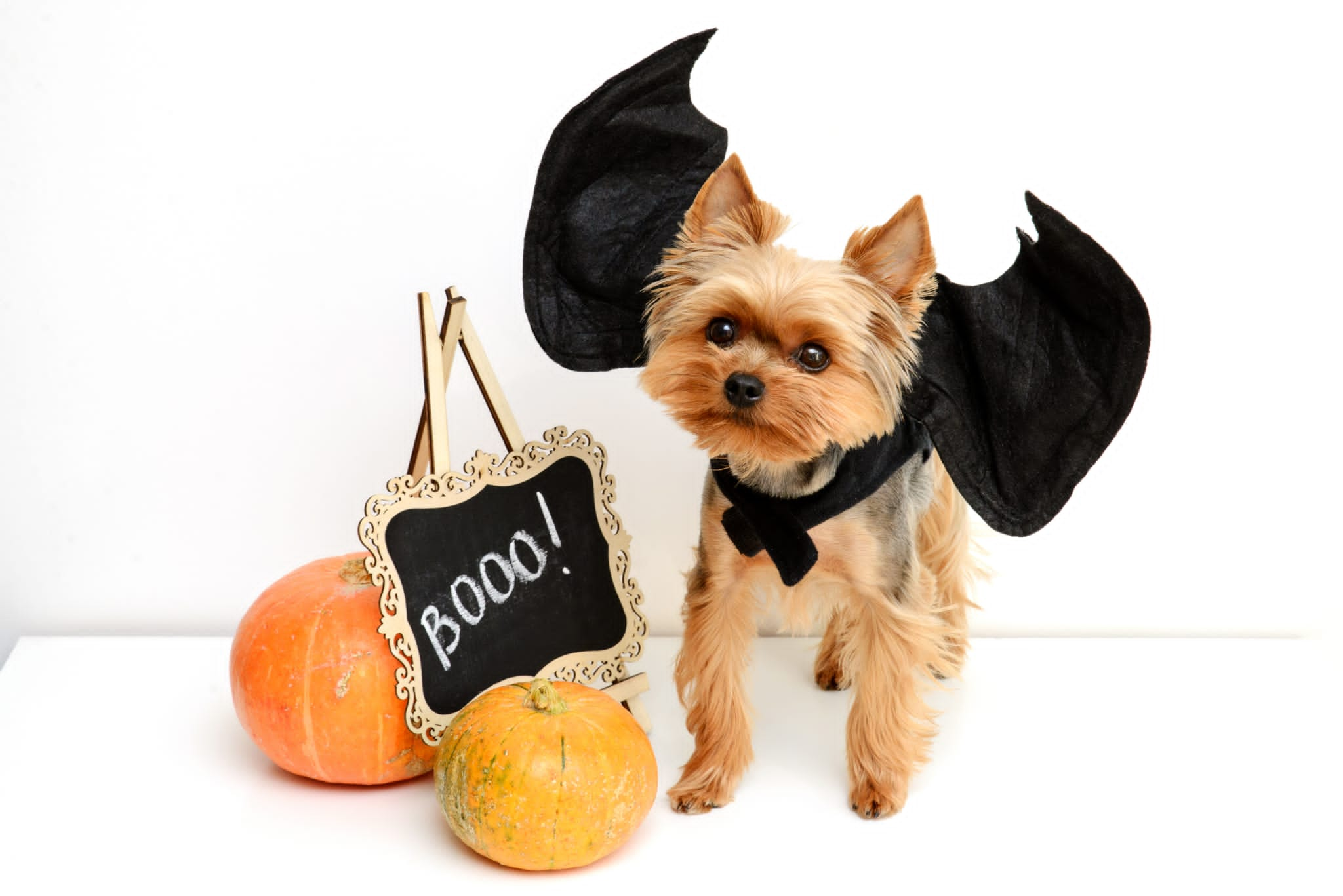 dog dressed up for halloween photo shoot